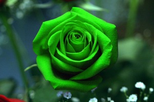 rose-color-green